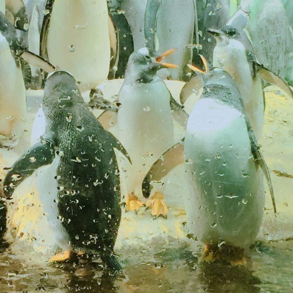 海遊館ペンギンの画像