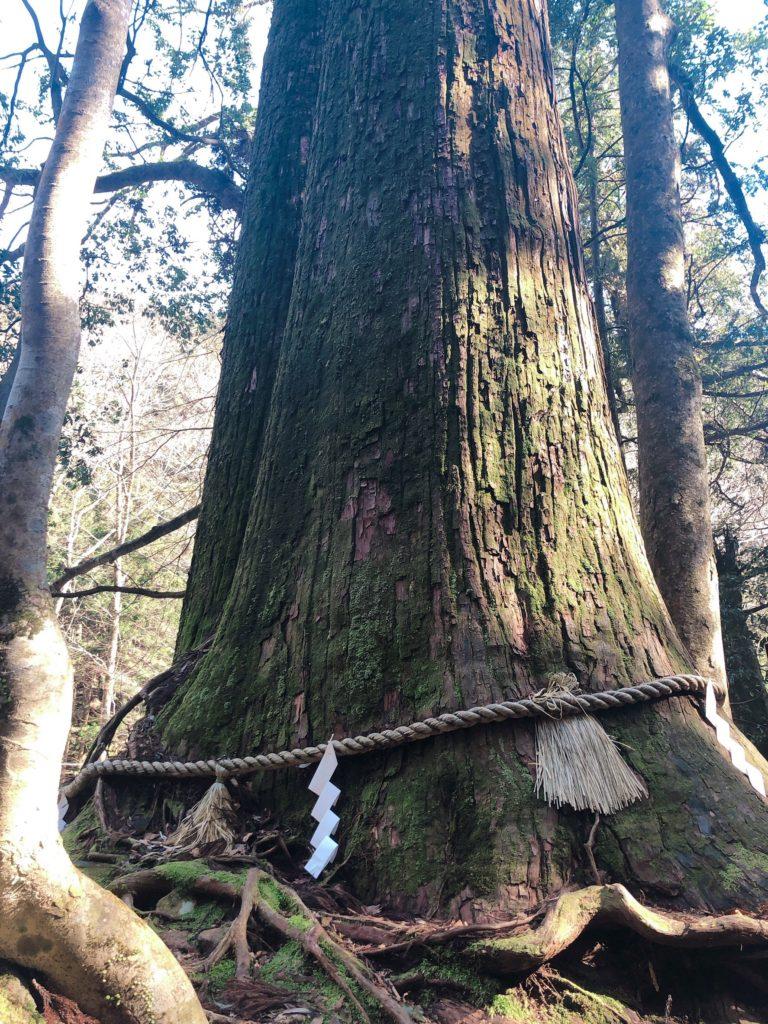 貴船神社の大木